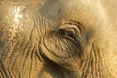 一头老大象的眼睛,琅勃拉邦,老挝 库存图片
