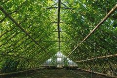 一间老荷兰葡萄温室的内部 免版税图库摄影