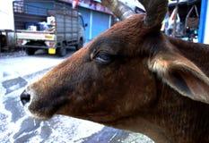一头老街道母牛的画象 免版税图库摄影