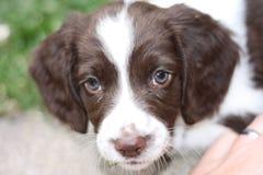 一年轻肝脏和白色工作键入英国斯伯林格西班牙猎狗宠物 免版税库存图片