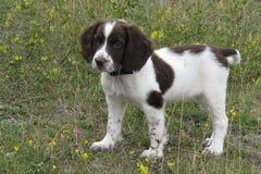一年轻肝脏和白色工作键入英国斯伯林格西班牙猎狗宠物 免版税库存照片