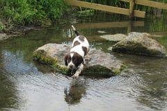 一年轻肝脏和白色工作键入英国斯伯林格西班牙猎狗宠物 库存图片