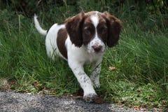 一年轻肝脏和白色工作键入英国斯伯林格西班牙猎狗宠物 库存照片