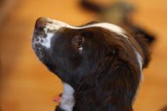 一年轻肝脏和白色工作键入英国斯伯林格西班牙猎狗宠物 图库摄影