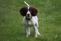 一年轻肝脏和白色工作键入英国斯伯林格西班牙猎狗宠物 免版税图库摄影