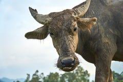 一头肮脏,泥泞的水牛的画象在米领域的在Phong Nha ke轰隆国家公园,越南 库存图片