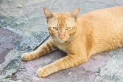 一黄色猫看起来老虎 免版税库存照片