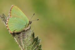 一绿色翅上有细纹的蝶蝴蝶Callophrys rubi在叶子栖息 免版税库存照片