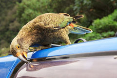 一绿色鹦鹉kea 库存照片