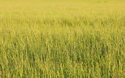 一绿色grassfield的Minimalistic特写镜头 免版税库存照片