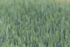 一绿色wheatfield的领域 库存照片