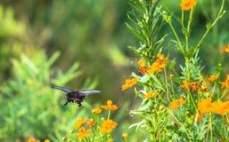 一黑蝴蝶和橙色法国merrigolds 库存图片