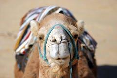 一头被箝制的dromedar骆驼的头在沙漠 库存照片