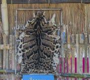 一头被覆盖的豹子的毛皮 免版税库存图片