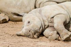 一头说谎的幼小犀牛 免版税图库摄影