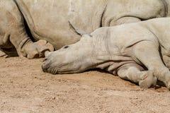 一头说谎的幼小犀牛 免版税库存照片