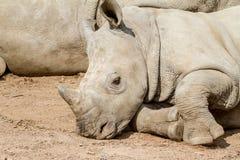 一头说谎的幼小犀牛 免版税库存图片