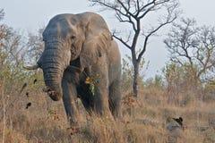 一头象牙大象 库存图片