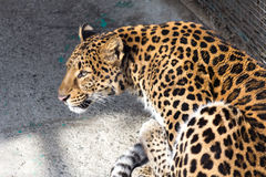 一头豹子在东北虎公园,哈尔滨,中国 库存照片
