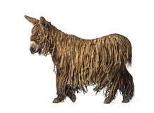 一头走的Poitou驴的侧视图 免版税库存照片