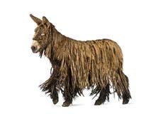 一头走的Poitou驴的侧视图 库存图片