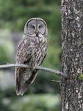 在分支栖息的巨大灰色猫头鹰 免版税库存照片
