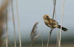 一年轻逗人喜爱的有胡子的山雀Panurus biarmicus在芦苇栖息 免版税库存图片