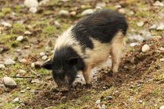 一头逗人喜爱的猪 免版税库存图片