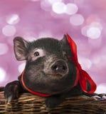 一头逗人喜爱的矮小的黑猪 库存图片