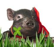一头逗人喜爱的矮小的黑色猪 免版税图库摄影