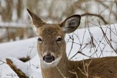 一头逗人喜爱的滑稽的野生鹿的美丽的画象在多雪的森林里 免版税库存照片