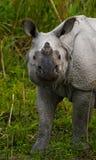 一头野生伟大的一有角的犀牛的画象 图库摄影