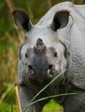 一头野生伟大的一有角的犀牛的画象 免版税图库摄影