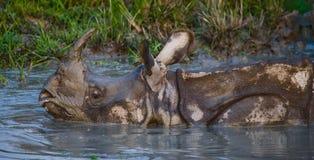 一头野生伟大的一有角的犀牛的画象 库存图片