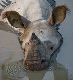 一头野生伟大的一有角的犀牛的画象 库存照片