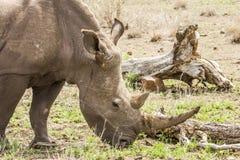 一头野生公犀牛的画象在大草原的,在克鲁格公园 免版税库存图片