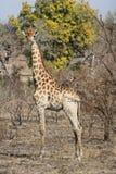 一头野生长颈鹿 库存图片
