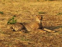 一头野生非洲猎豹的纵向 免版税库存图片