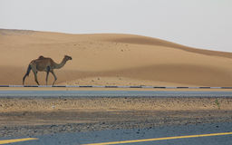 一头野生骆驼在路走在一片沙漠旁边在迪拜,阿拉伯联合酋长国 免版税库存照片
