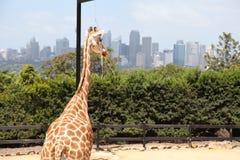 一头长颈鹿在Taronga动物园澳大利亚里 免版税图库摄影