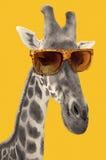 一头长颈鹿的画象与行家太阳镜的 免版税库存图片