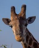 一头长颈鹿的画象在克留格尔国家公园 免版税库存照片