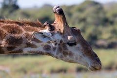 一头长颈鹿的画象在克留格尔国家公园 库存照片