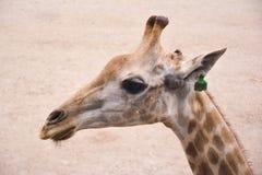 一头长颈鹿的画象在沙子背景的 库存照片