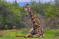 一头长颈鹿(长颈鹿camelopardalis)在克留格尔国家公园 免版税库存图片