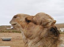 一头阿拉伯骆驼的画象 免版税图库摄影
