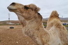 一头阿拉伯骆驼的画象 库存照片