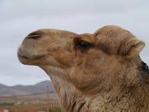 一头阿拉伯骆驼的画象 免版税库存图片