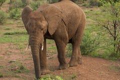 一头非洲大象在Pilanesberg 库存图片