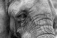一头非洲大象的面孔的特写镜头画象-纹理 库存图片